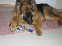 Lamav suur koer viinapudeliga käpa all
