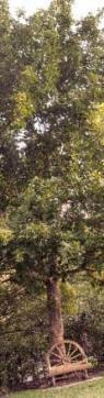 suur lehtpuu roheliste lehtedega